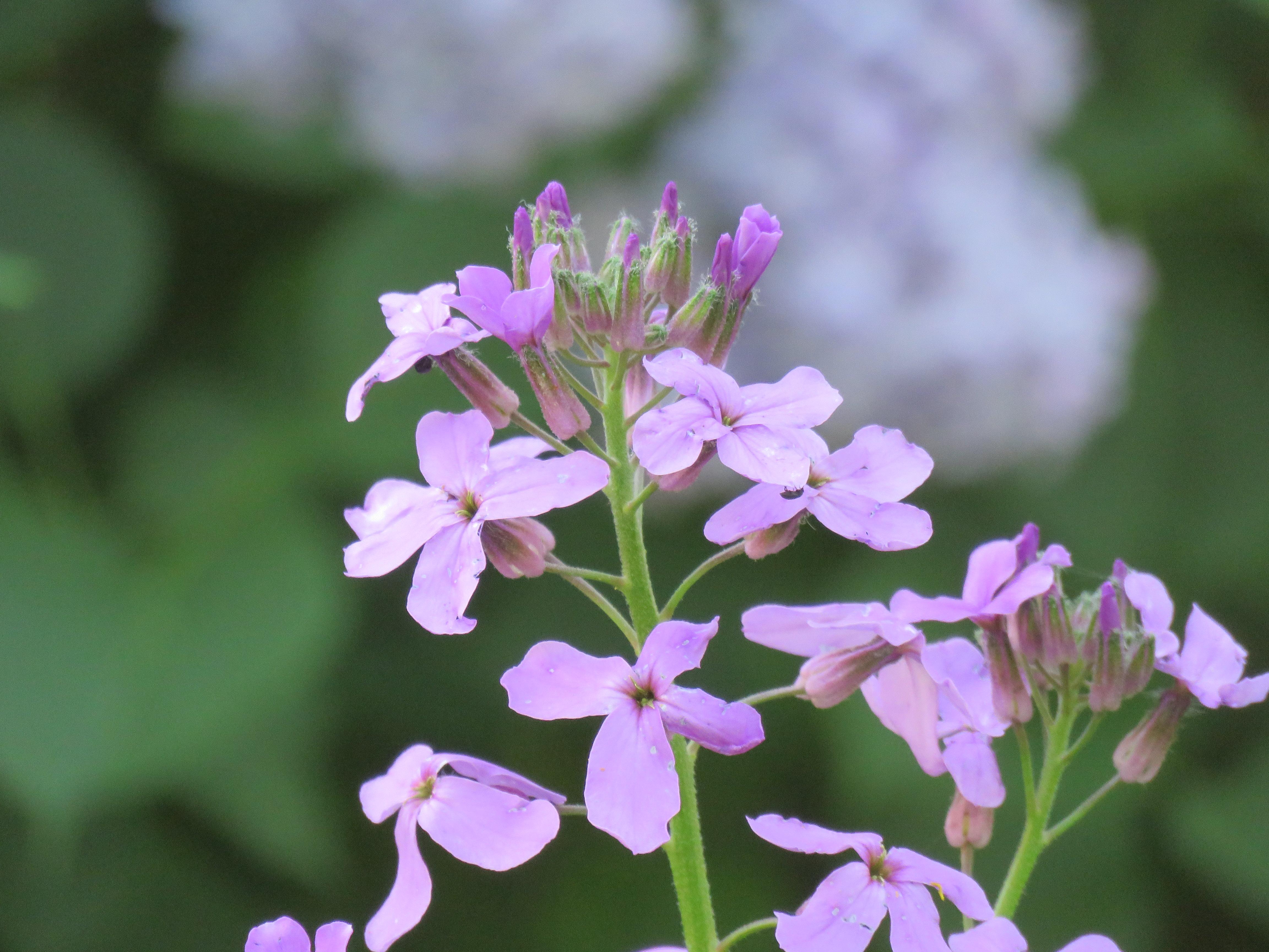 Trädgårdsnattviol