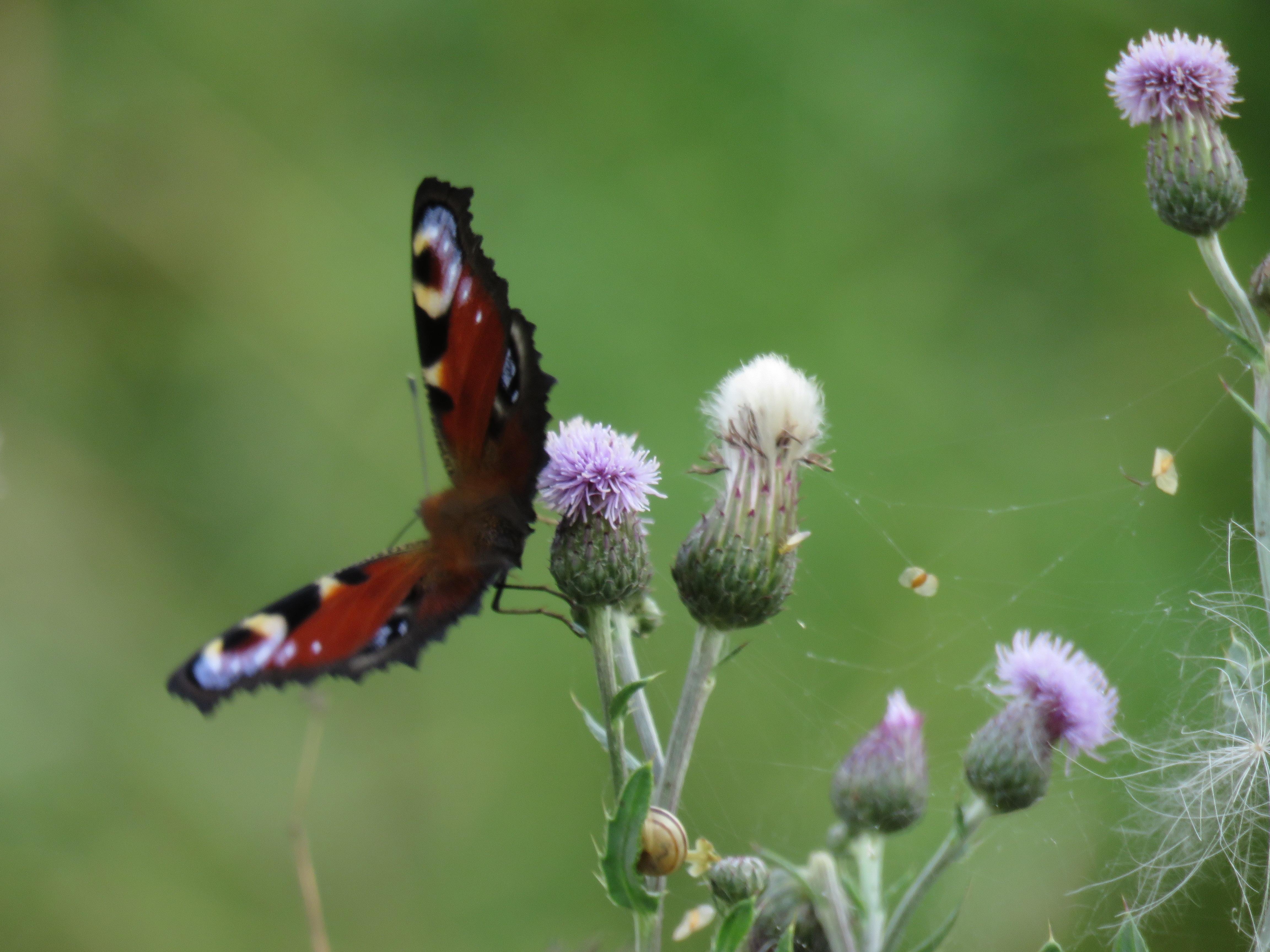 Naturens egen fjärilsbuske