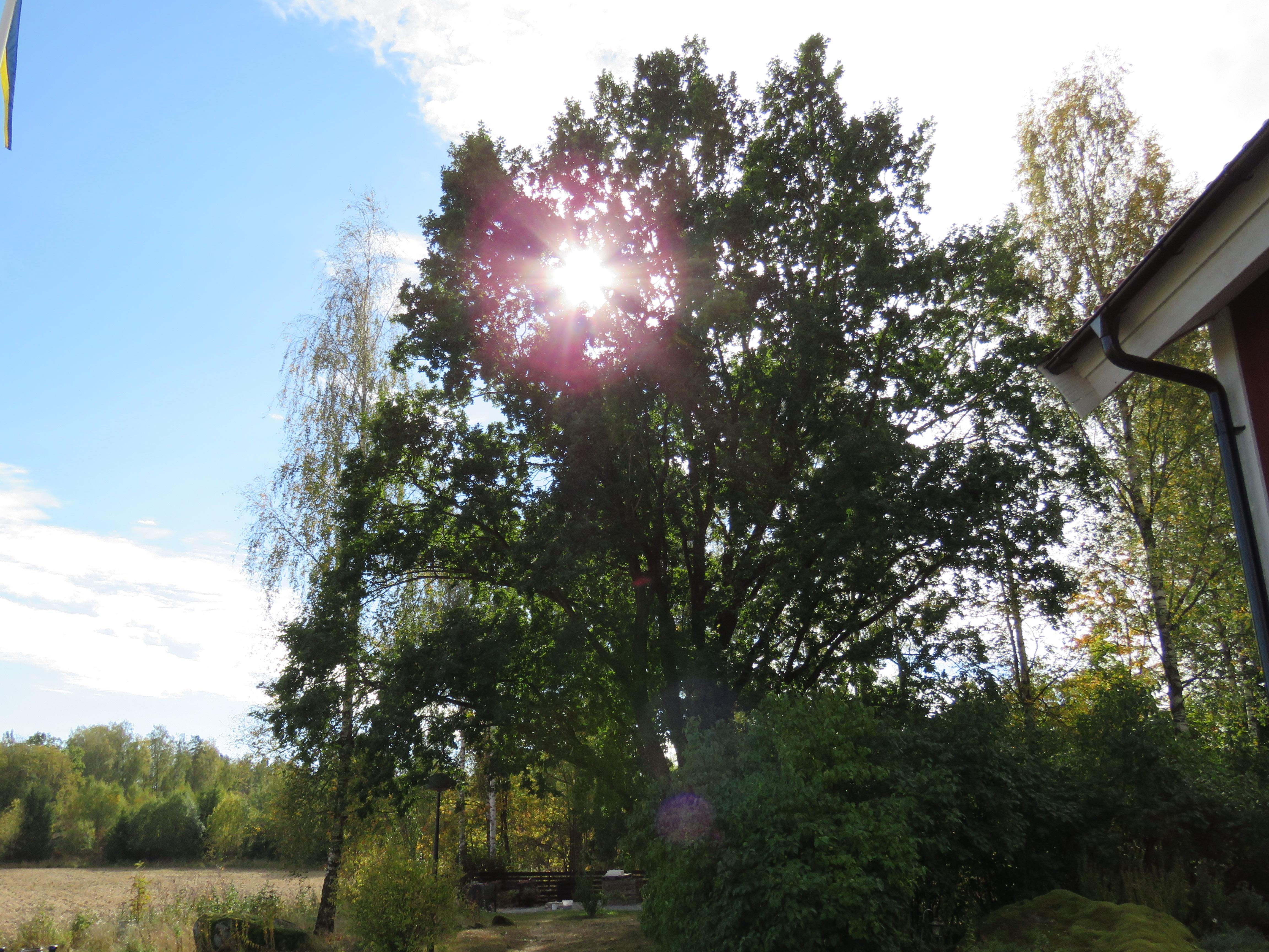 Mäktiga träd